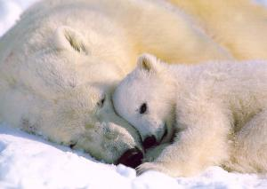 polarbears a-mom_and baby-sleeping