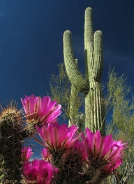 Pink Flowers with Catcus