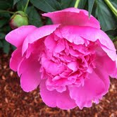 peony flower picture courtesy of Garrett Eastman