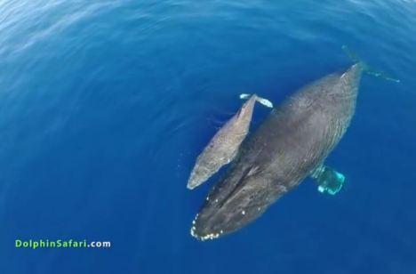 Blue Whales and Drones